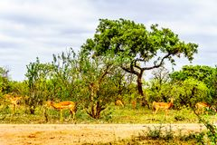 Impalas seeking shade under trees in Kruger National Park. In South Africa Royalty Free Stock Photo