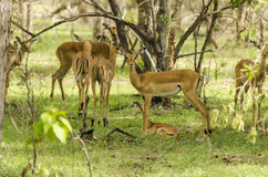 Impalas in Selous Royalty Free Stock Photo