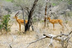 Impalas at selous national park Stock Image