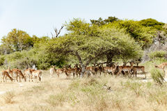Impalas in shadow of acacia trees Stock Photos
