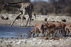 Impalas sharing waterhole with a giraffe Stock Image