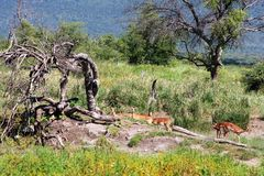 Impalas In South Africa. With bushveld landscape in the background Royalty Free Stock Photography