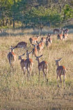 Impalas, South Africa Royalty Free Stock Photography