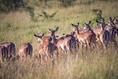 Impalas, South Africa Stock Image