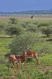 Impalas und Giraffe im See Manyara Stockfotos