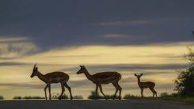 Impalas w Kruger parku narodowym, Południowa Afryka Obraz Stock