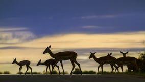 Impalas w Kruger parku narodowym, Południowa Afryka Fotografia Royalty Free
