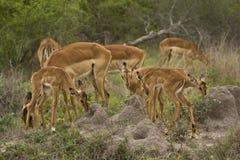 Impalas w sawannie, kruger bushveld, Kruger park narodowy, POŁUDNIOWA AFRYKA Zdjęcie Stock