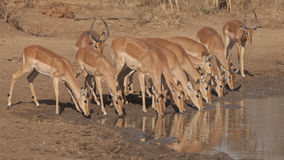 Impalas at waterhole Stock Photos