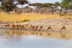 Impalas wzdłuż waterhole z rzędu Fotografia Royalty Free
