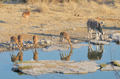 Impalas and zebra Stock Photos