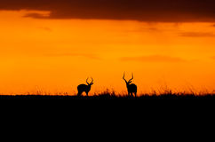 Impalasolnedgång i Maasaien Mara Royaltyfri Fotografi