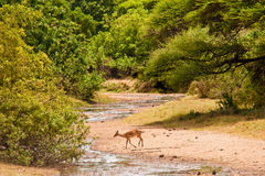 Impale antelope crossing a river. Impale antelope crossing an almost dry river Royalty Free Stock Images