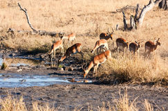 Impale herd drinking water Royalty Free Stock Image