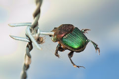 Impaled beetle - victim of the loggerhead shrike Stock Photo