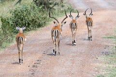 Impallas на улице в Африке Стоковые Изображения RF