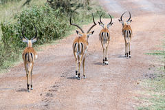 Impallas on a Path in Africa Royalty Free Stock Images