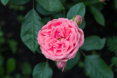 Impallidica - il colore rosa è aumentato Fotografia Stock Libera da Diritti