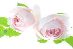 Impallidisca i fiori del fiore della rosa di rosa isolati su fondo bianco Fotografia Stock Libera da Diritti
