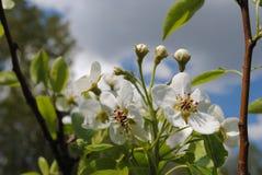 Impallidisca i fiori rosa di di melo un giorno soleggiato a maggio Fotografie Stock