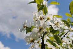 Impallidisca i fiori rosa di di melo un giorno soleggiato a maggio Fotografia Stock Libera da Diritti