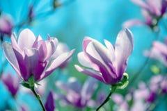 Impallidisca il fiore rosa della magnolia fotografie stock libere da diritti
