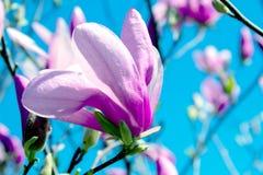 Impallidisca il fiore rosa della magnolia fotografia stock libera da diritti