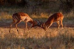 Impalor som kolliderar horn Fotografering för Bildbyråer