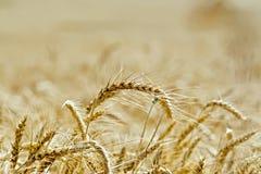 Impani le orecchie mature di grano sul fondo del campo Immagine Stock Libera da Diritti