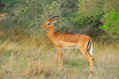 Impapa Antelope and Oxpecker Stock Photos