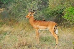 Impapa Antelope and Oxpecker Stock Photos