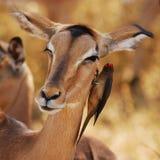 Impapa Antilope und Oxpecker Lizenzfreie Stockbilder