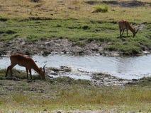 Impara στο εθνικό πάρκο Chobe Στοκ Εικόνα