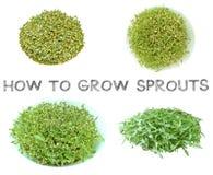 Impari come coltivare il punto dei germogli a casa Immagine Stock