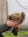 Imparial-Adler (Aquila-heliaca) Stockfotografie