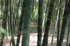 Impassable Bamboo grove. stock images