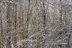 Impassable forest. Winter. Russia royalty free stock photos
