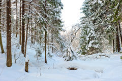 Impassable places in the snowy forest Royalty Free Stock Photography