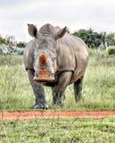 Impasse de rhinocéros Photographie stock libre de droits