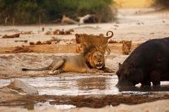 Impasse del leone e dell'ippopotamo Fotografia Stock Libera da Diritti