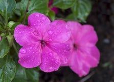 Impatien Blume lizenzfreie stockfotografie