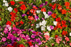 Impatiens Obrazy Stock
