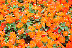 impatiens Photo stock