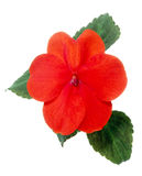 Impatiens royalty free stock images
