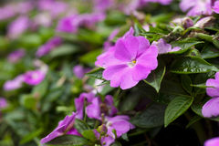 impatiens Royaltyfria Foton