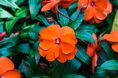 Impatiens arancio della Nuova Guinea Immagini Stock Libere da Diritti
