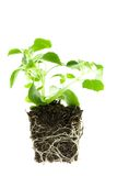 Impatiens baby plant. Stock Photography