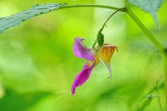 Impatiens balsamina Stock Photography