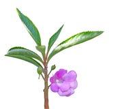 Impatiens Balsamina Flower Stock Photo