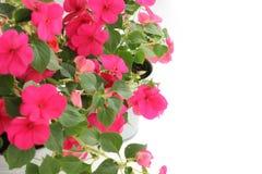 Impatiens Balsamina kwiat Zdjęcie Royalty Free